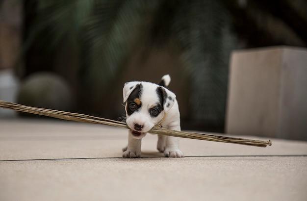 Un mignon petit chiot jack russell jouant avec un bâton plus gros que son corps