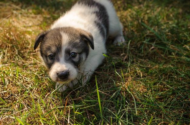 Mignon petit chiot marchant sur l'herbe