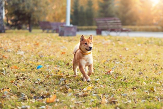 Le mignon petit chiot shiba inu. chien rouge japonais dans le parc d'automne jouant sans laisse