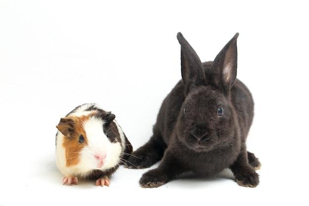 Mignon petit lapin noir rex et cochon d'inde