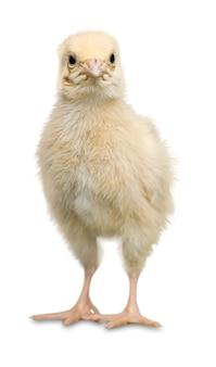 Mignon petit poulet isolé sur blanc