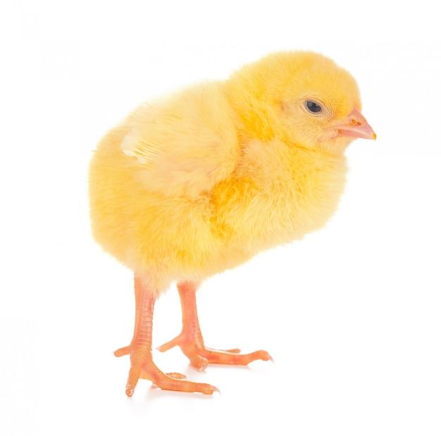 Mignon petit poulet isolé