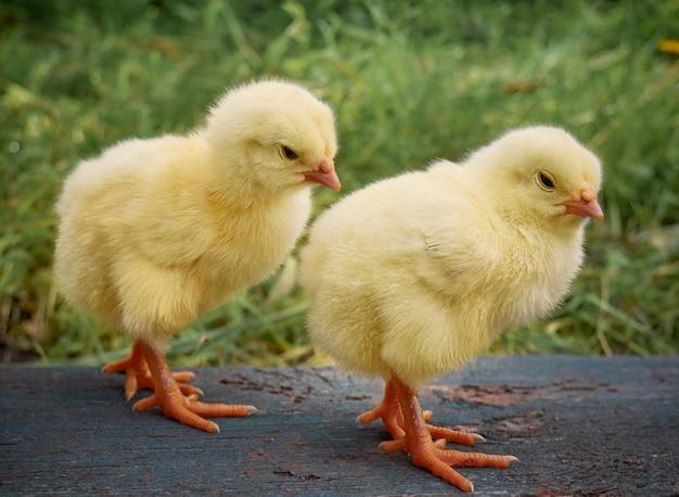 Mignon petit poulet nouveau-né.