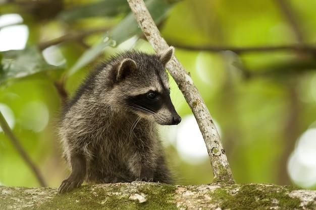 Mignon petit raton laveur grimpant à un arbre dans une jungle du costa rica