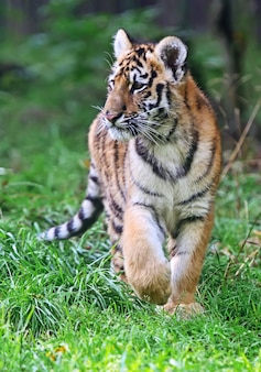 Mignon petit tigre jouant dans l'herbe