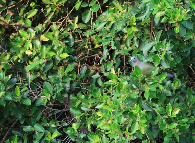 Un mignon pigeon vert sauvage à la bille épaisse perché parmi les feuilles d'un arbre vert