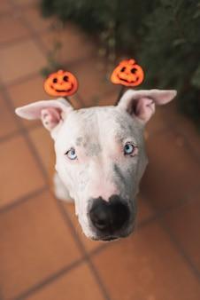 Mignon pit bull américain stafford coiffé d'un chapeau d'halloween