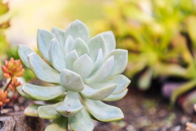 Mignonnes plantes succulentes dans le sol.