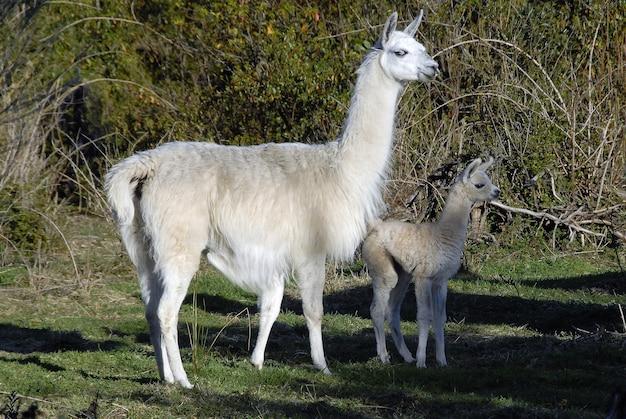 Mignons grands et bébés lamas debout ensemble dans un parc