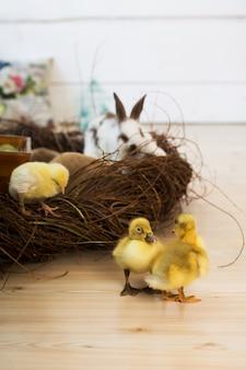 Mignons petits canetons jaunes marchant à côté du nid en osier. décoration intérieure de pâques.