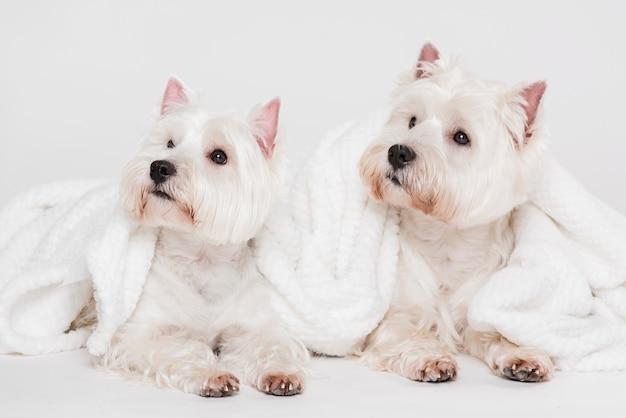 Mignons petits chiens avec des serviettes