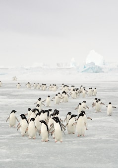 Migration annuelle du manchot adélie en antarctique