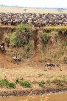La migration de grands troupeaux de gnous sur la rivière mara en afrique