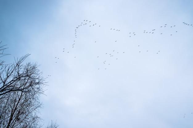 Migration des oies sauvages