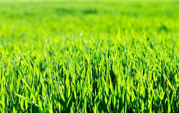 Milieux d'herbe verte. pelouse d'été