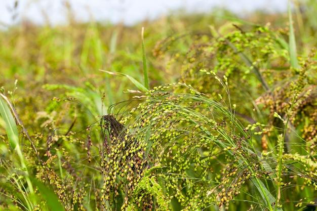 Millet vert et violet, photographié en gros plan. champ agricole avec une récolte de céréales non mûres