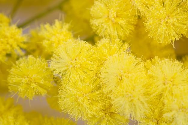 Mimosa, journée de la femme