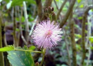 Mimosa pudica thottavadi fleur