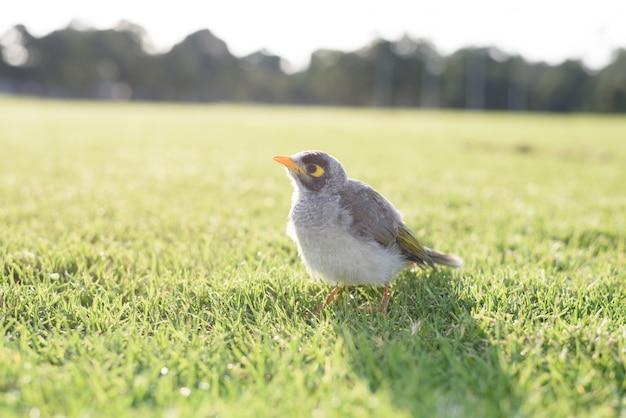 Mineur à l'oiseau natif australien dans l'herbe, fond de nature floue.