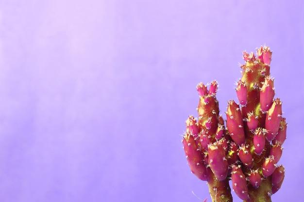 Mini cactus magenta vibrants contre un mur de béton violet pastel