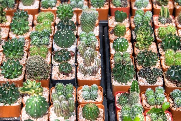 Mini jardin de cactus en pépinière, plantation de cactus succulentes