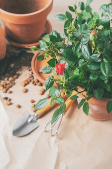 Mini roses dans des pots de fleurs en céramique et des outils de jardinage avec un espace libre pour le texte. planter des roses en pot à la maison.