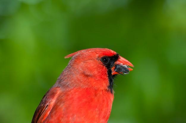 Minnesota. gros plan d'un mâle northern cardinal, ouvrant une graine de tournesol au printemps.