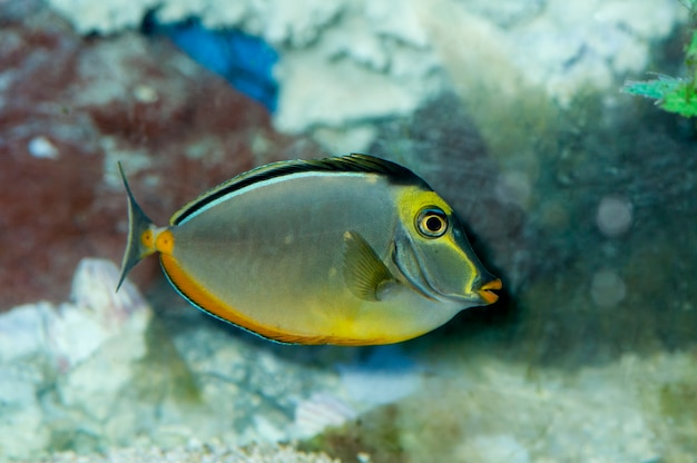 Minnesota. poissons d'aquarium. naso tang, un poisson d'aquarium d'eau salée nageant dans le corail.