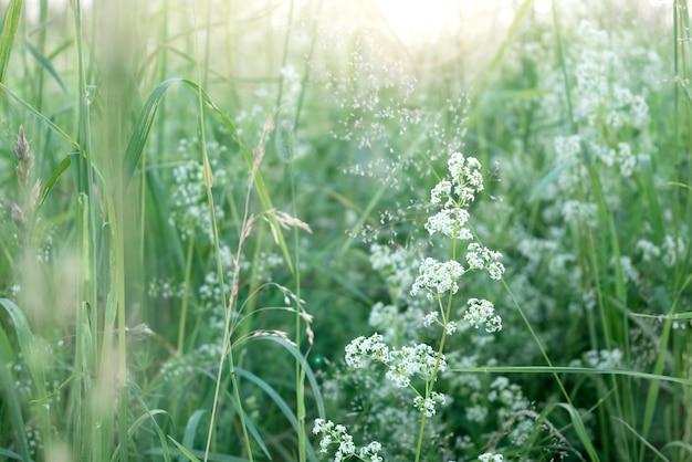 De minuscules fleurs sauvages blanches parmi l'herbe verte sur le terrain au soleil