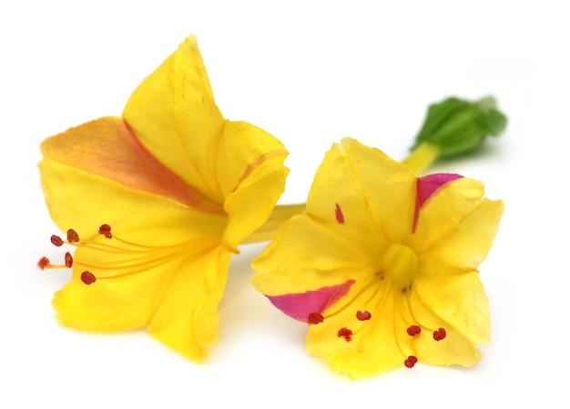 Mirabilis jalapa ou sandhya moni fleur d'asie du sud-est