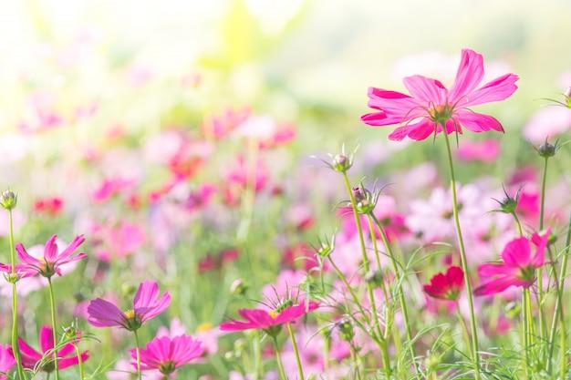 Mise au point douce et sélective de cosmos, fleur floue pour le fond, plantes colorées