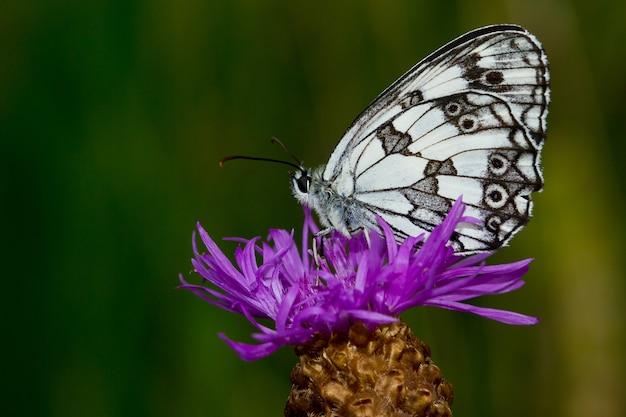 Mise au point peu profonde d'un beau papillon blanc avec des points noirs sur une fleur