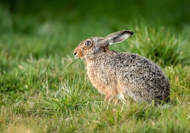 Mise au point peu profonde gros plan d'un lièvre mange de l'herbe dans un champ