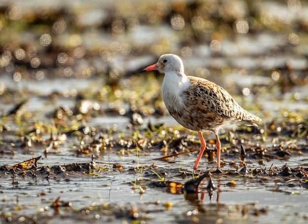Mise au point peu profonde gros plan d'un petit oiseau ruff debout dans un étang