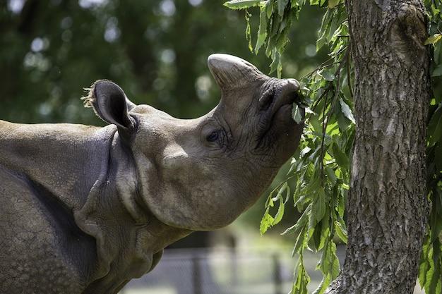 Mise au point peu profonde gros plan d'un rhinocéros gris mangeant les feuilles vertes d'un arbre