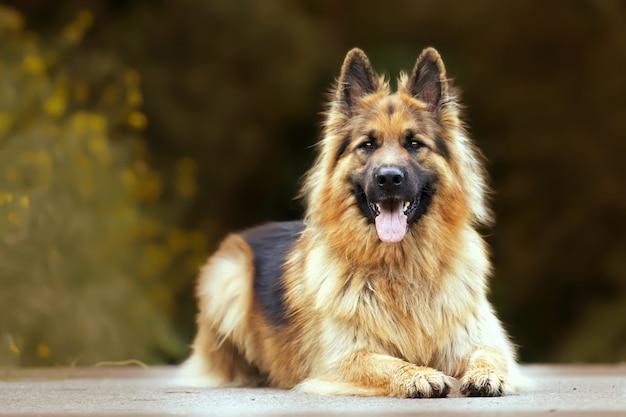 Mise au point sélective d'un adorable berger allemand à l'extérieur pendant la journée