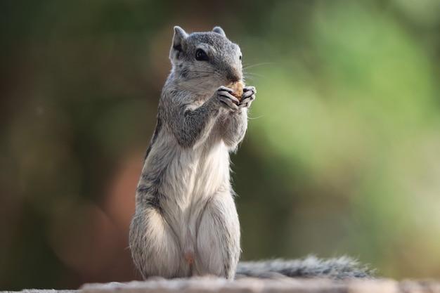 Mise au point sélective d'un adorable écureuil gris, à l'extérieur pendant la journée