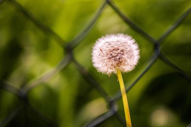 Mise au point sélective d'un beau pissenlit duveteux qui fleurit sur le terrain