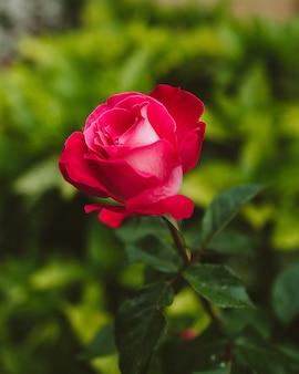 Mise au point sélective d'une belle rose rose