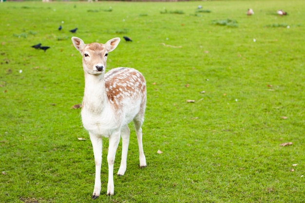 Mise au point sélective d'une biche de daim debout sur un pré avec une herbe verte