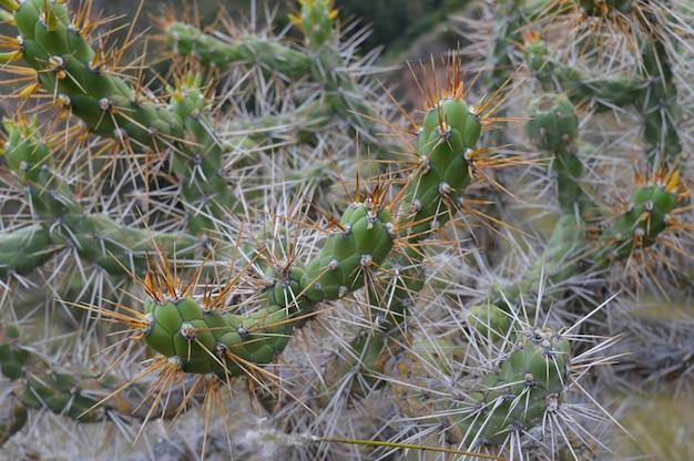 Mise au point sélective d'un cactus avec de grandes pointes