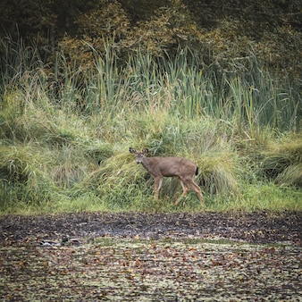 Mise au point sélective d'un cerf brun sur le terrain