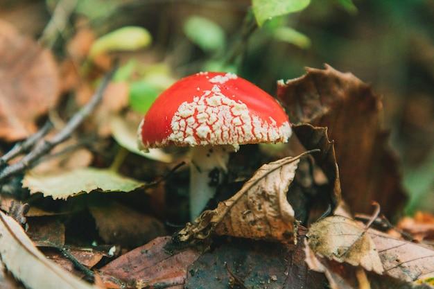 Mise au point sélective d'un champignon amanita muscaria à thornecombe woods, dorchester, dorset, uk