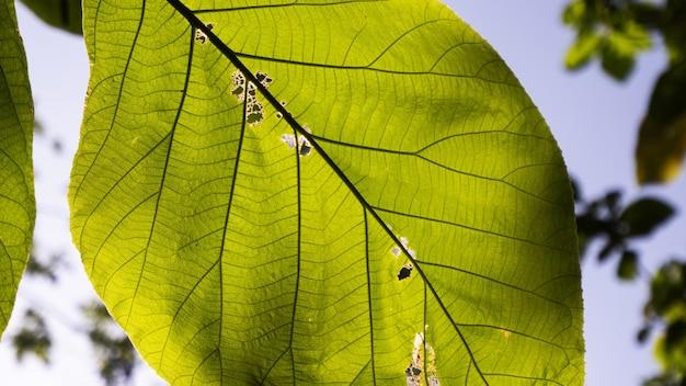 Mise au point sélective de feuilles de terminalia catappa avec un fond de ciel bleu