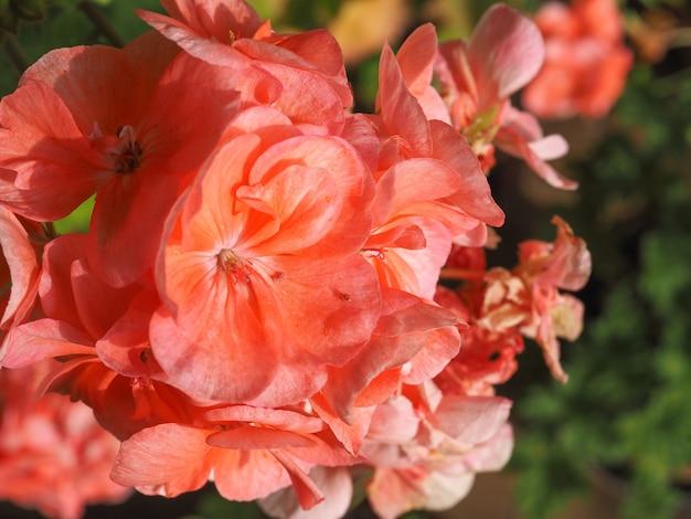 Mise au point sélective de fleur de géranium rose