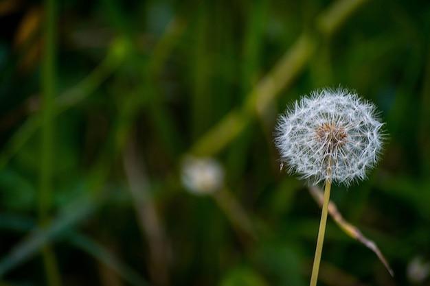 Mise au point sélective d'une fleur de pissenlit dans le jardin