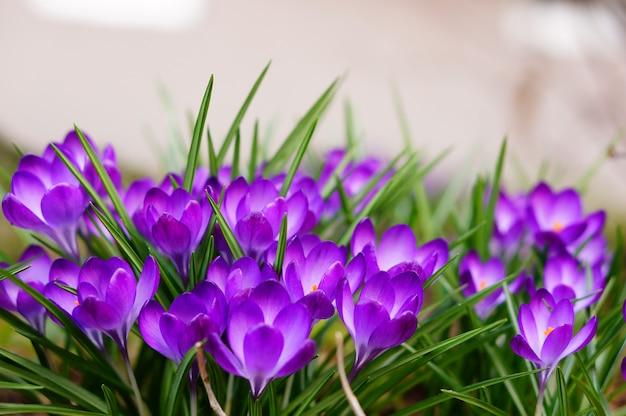 Mise au point sélective de fleurs blanches et violettes