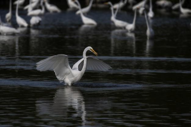 Mise au point sélective d'une grande aigrette blanche déployant ses ailes sur le lac
