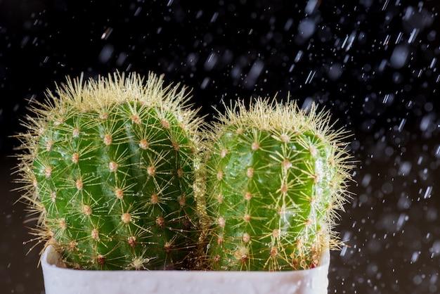 Mise au point sélective gros plan sur cactus avec des gouttes de rosée