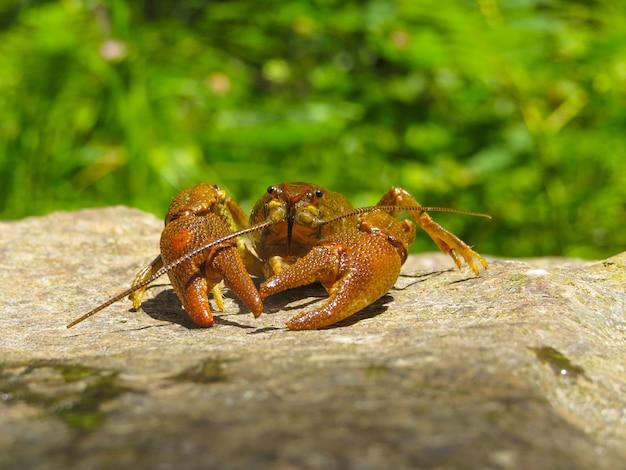 Mise au point sélective d'un homard sur la pierre